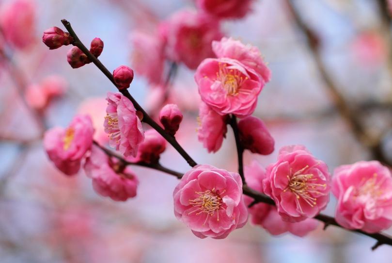 oomiya限定☆ラパージュ『梅の花』